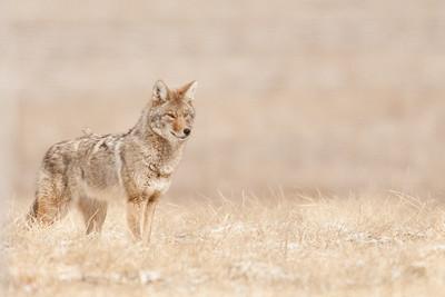 Male Coyote