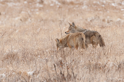 Coyote mates