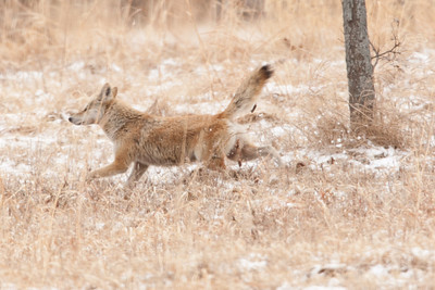 Female Coyote marking her territory