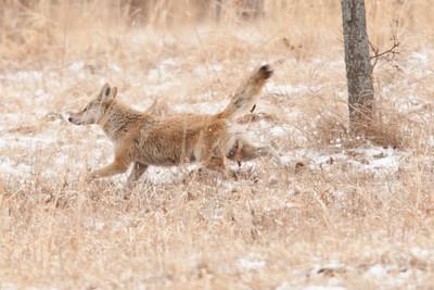 Female Coyote marking her territory
