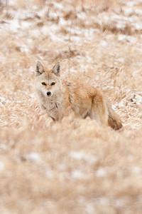 Female Coyote