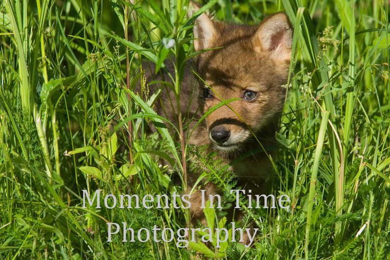 Coyote pup peeking through grass