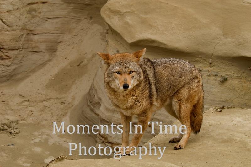 Coyote close