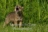 Howling coyote in grass