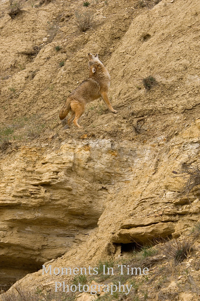 Coyote howling on hillside v