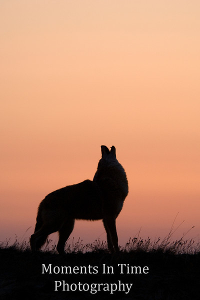Howling coyote at sunrise