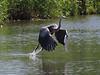 Heron takeoff_1