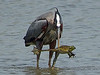Great blue herron goes fisshing