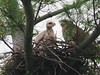 A Red-tailed hawk and her chick (eyass)