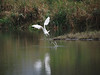 A snowy egret takes off from a pond.