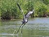 Heron takeoff_2