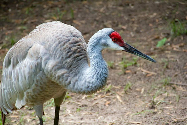 Cranes of Spring Garden Ranch