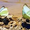 Butterfly Sunlight Walk 2