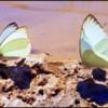 Butterfly Sunlight Walk 1