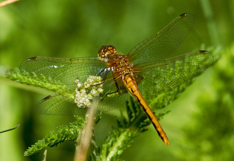 Cherry-Faced Meadowhawk (Sympetrum internum)