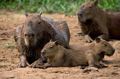 Capybara, Northern Pantanal, Brazil