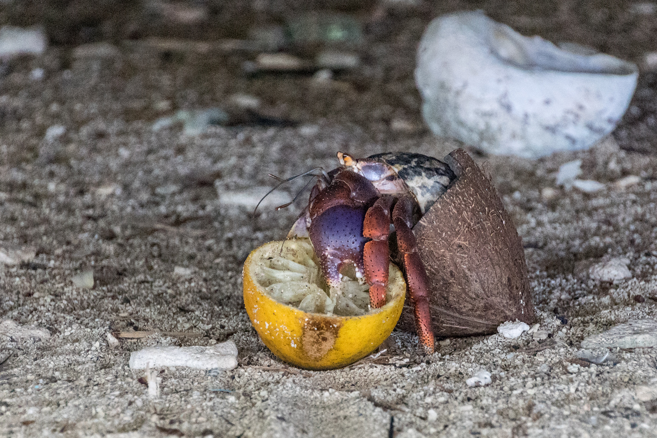 Hermit Crab, Carrie Bow Cay, Belize