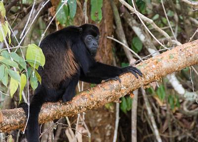 Howler Monkey - Gatun Lake, Panama
