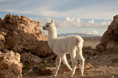 Llama, San Juan, Bolivia