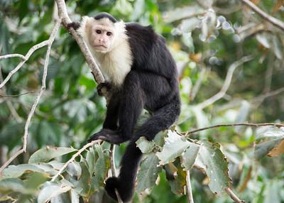 Cappuccino Monkey - Gatun Lake, Panama