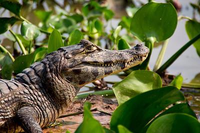 Caiman, Northern Pantanal, Brazil