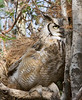 This beautiful photo of a Great Horned Owl was taken at the Calgary Zoo.
