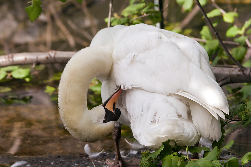 Photo of Trumpeter Swan taken at the Calgary Zoo.