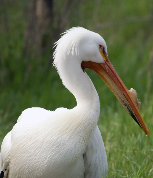 Photo of Great White Pelican taken at the Calgary Zoo.