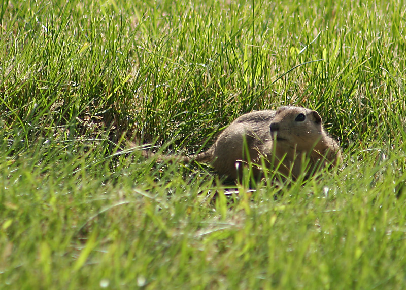 I took this picture in a large grass covered field.  There were probably a few dozen 'Prairie Dogs' in the field, but this was the only one that would hold still long enough for me to snap a shot off!