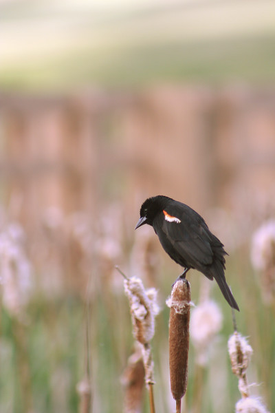 This is one of two really good pictures out of several dozen I took of this beautiful bird (Redwinged Blackbird).  He posed for about half an hour, turning this way and that.  And I was only twenty feet away.
