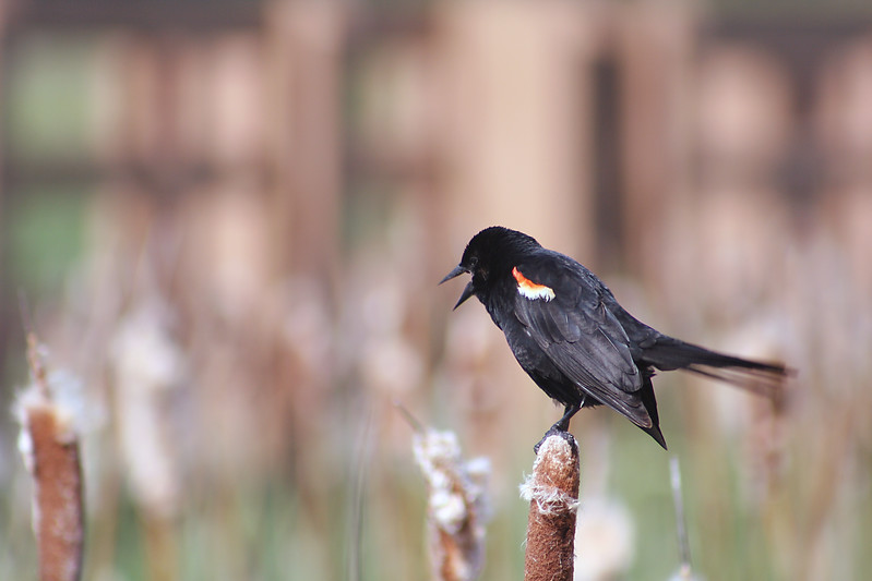 This is the second of two really good pictures out of several dozen I took of this beautiful bird (Redwinged Blackbird).  He posed for about half an hour, turning this way and that.  And I was only twenty feet away.