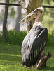 Photo of Stork taken at the Calgary Zoo.  They are rather interesting but ugly looking birds.
