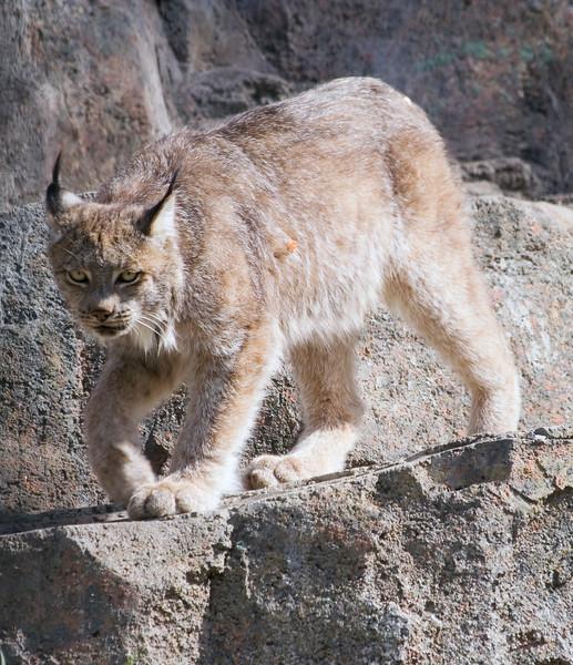 Photo of Lynx taken at the Calgary Zoo.