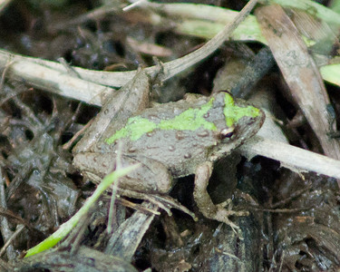 Blanchard's Cricket Frog - 6558