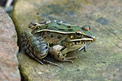 Leopard Bullfrog - D7086crop