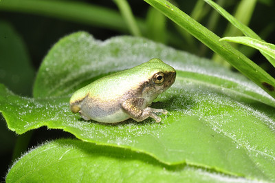 Gray Tree Frog - Abnormal Development.