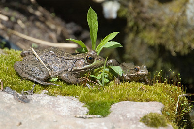 Bullfrogs - D1877