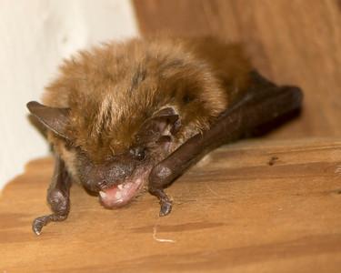 X2766 Bat