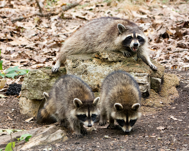GX0271 Raccoons