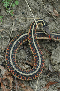 Garter Snake - Five species in Missouri. For now, I'm guessing this is the Red-Sided Garter Snake. - Columbia Bottoms CA