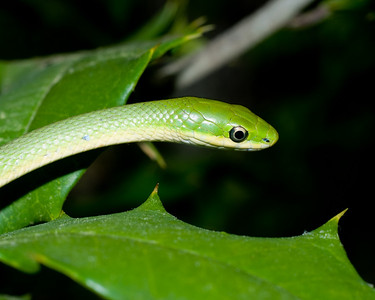 Rough Green Snake 7219