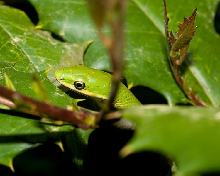 Rough Green Snake 7215