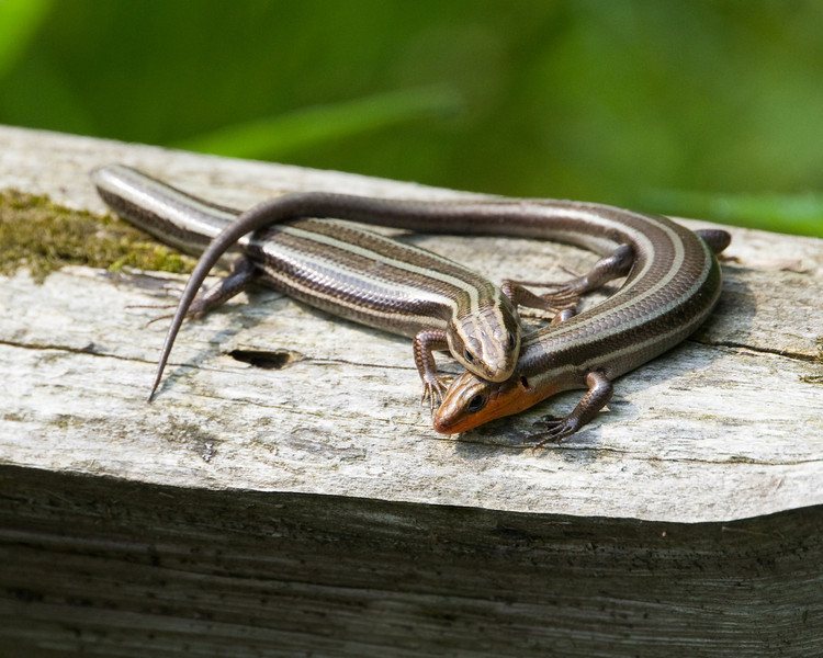 Five Lined Skink Pair D6183