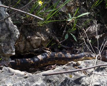 Hognose Snake - C6889