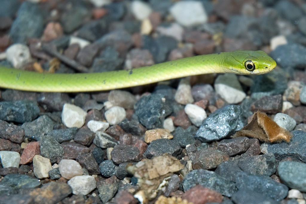 Rough or Smooth Green Snake D3362
