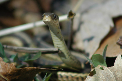 Garter Snake - Young, newly emerged from nest.