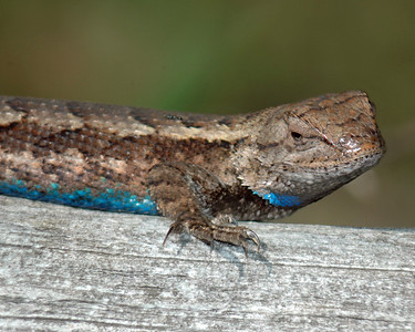Common Fence Lizard (m) & Ant