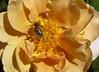 Bee Eats Lunch (October 2006)