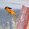 Yellow bird,  Frazier Park, CA