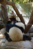 Time to talk about weening (San Diego Zoo- Wed 2 18 09)